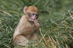 Behandla som ett barn den Barbary macaquen Royaltyfri Foto
