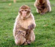 behandla som ett barn den barbary macaquen Royaltyfri Bild