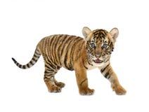 Behandla som ett barn den bengal tigern Royaltyfria Foton