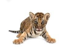 Behandla som ett barn den bengal tigern Arkivbild