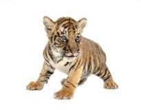 Behandla som ett barn den bengal tigern Arkivbilder