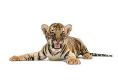 Behandla som ett barn den bengal tigern Fotografering för Bildbyråer