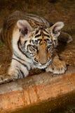 Behandla som ett barn den Bengal tigern på vattens kant Fotografering för Bildbyråer