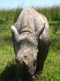 behandla som ett barn den betande noshörningen Royaltyfri Fotografi