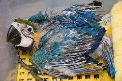 behandla som ett barn den blåa guldmacawen Fotografering för Bildbyråer