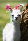 behandla som ett barn den bolivia llamaen Royaltyfria Foton