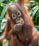 Behandla som ett barn den Bornean orangutanget (Pongopygmaeusen) arkivfoto