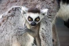 behandla som ett barn den förvånade lemuren Arkivbilder