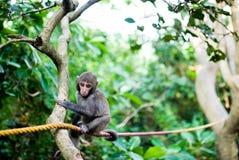 behandla som ett barn den formosan macaquen Royaltyfri Bild