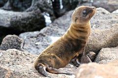 Behandla som ett barn den Galapagos sjölejonet Arkivfoto