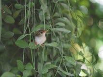 Behandla som ett barn den gemensamma tailorbirden Royaltyfri Foto