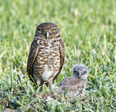 behandla som ett barn den gräva owlen royaltyfria foton
