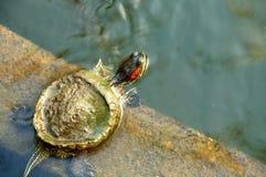 behandla som ett barn den gröna röda sköldpaddan Royaltyfri Foto