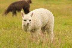 Behandla som ett barn den gulliga alpacalantgården arkivfoton