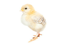 behandla som ett barn den gulliga fågelungen Arkivfoton