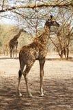 behandla som ett barn den gulliga giraffet royaltyfri foto
