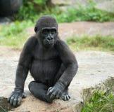 behandla som ett barn den gulliga gorillan Fotografering för Bildbyråer