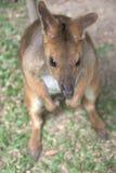behandla som ett barn den gulliga kängurun Royaltyfri Foto