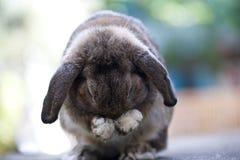 behandla som ett barn den gulliga kaninen lop kanin Royaltyfri Bild