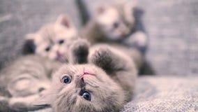 behandla som ett barn den gulliga kattungen stock video