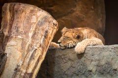 behandla som ett barn den gulliga lionen Royaltyfri Fotografi