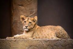 behandla som ett barn den gulliga lionen Arkivbild