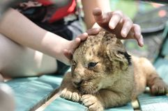 behandla som ett barn den gulliga lionen Fotografering för Bildbyråer