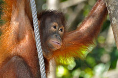 behandla som ett barn den gulliga orangutanen Fotografering för Bildbyråer
