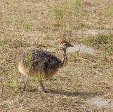 behandla som ett barn den gulliga ostrichen Arkivbild