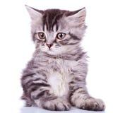 behandla som ett barn den gulliga silvertabbyen för katten Royaltyfri Foto