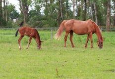 Behandla som ett barn den häst- hästen och stoen Fotografering för Bildbyråer