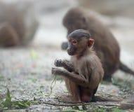 Behandla som ett barn den Hamadryas babianen Royaltyfri Fotografi