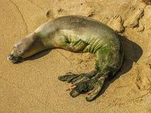 Behandla som ett barn den hawaianska munkskyddsremsan som sover på stranden Royaltyfri Fotografi