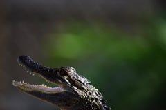 Behandla som ett barn den Head ståenden för alligatorn Royaltyfri Fotografi