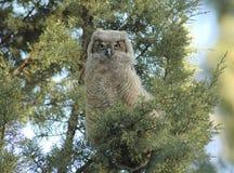behandla som ett barn den horned owlen Royaltyfri Fotografi