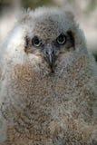 behandla som ett barn den horned owlen Fotografering för Bildbyråer