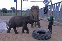 Behandla som ett barn den indiska elefanten och zoovårdaren Arkivbild
