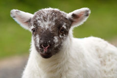 behandla som ett barn den irländska lamben Arkivfoto