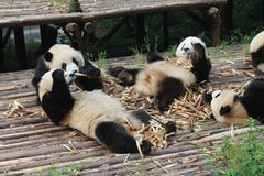 Behandla som ett barn den jätte- pandan för familjen, Chengdu Kina Royaltyfri Fotografi