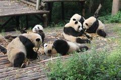 Behandla som ett barn den jätte- pandan för familjen, Chengdu Kina Royaltyfria Foton