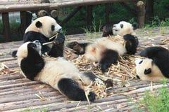 Behandla som ett barn den jätte- pandan för familjen, Chengdu Kina Fotografering för Bildbyråer