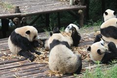 Behandla som ett barn den jätte- pandan för familjen, Chengdu Kina Royaltyfri Foto