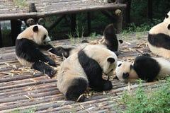 Behandla som ett barn den jätte- pandan för familjen, Chengdu Kina Arkivbild