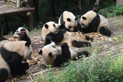 Behandla som ett barn den jätte- pandan för familjen, Chengdu Kina Arkivfoton