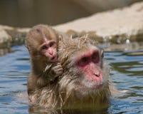 behandla som ett barn den japanska macaqueapan Royaltyfri Bild
