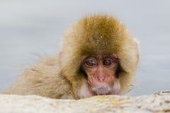 Behandla som ett barn den japanska Macaqueframsidan, closeup Royaltyfri Bild