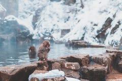Behandla som ett barn den japanska macaquen royaltyfria foton