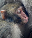 Behandla som ett barn den japanska macaquesnöapan Arkivfoton