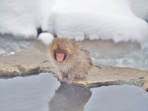 Behandla som ett barn den japanska macaquesnöapan på kanten av pölen för den varma våren Arkivbild
