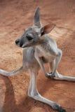 Behandla som ett barn den känguruunge kängurun Arkivbild
